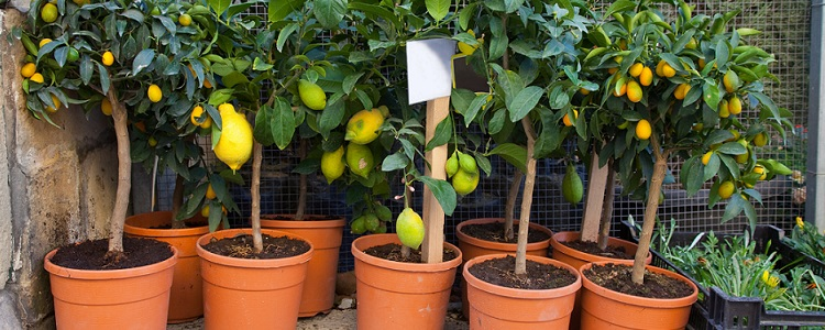 lemon trees in pots